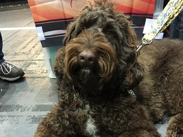 バーディくん。インテックス大阪「キャンピングカーショー」で!珍しいラブラドゥードルと言う犬種です。